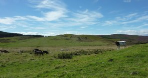 The next field had cows and calves. We walked very slowly, under intense observation.