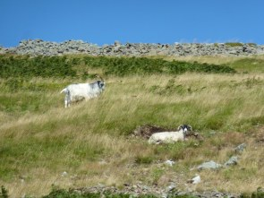 """Yeavering Bell mean s """"Goat Hill"""". Must be the right place. That's the wall of the hillfort ahead, nearly there!"""