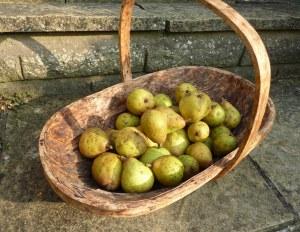 Windfallen pears